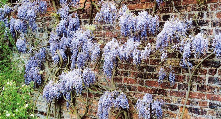Glycine sinensis Pluie Bleutée – 1 arbrisseau